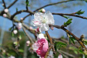 施設設立20周年の桃ノ木に花が咲きました!